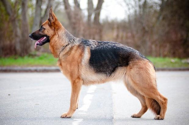 Lý giải tại sao chó Becgie thường được đào tạo thành cảnh khuyển - Ảnh 3.