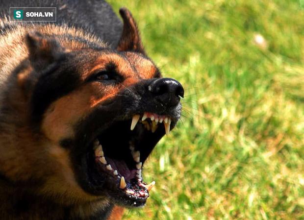 Lý giải tại sao chó Becgie thường được đào tạo thành cảnh khuyển - Ảnh 4.
