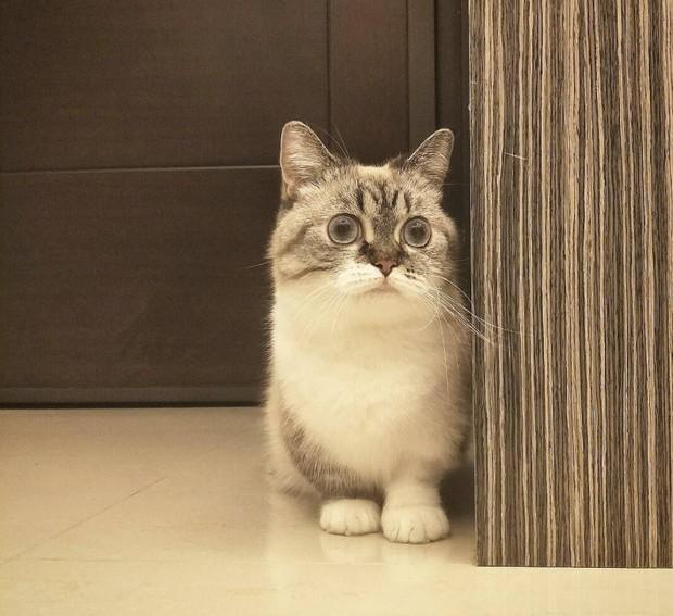Cute lạc lối: Khi mèo Mỹ chân ngắn học cách vẫy tay như mèo Thần Tài  - Ảnh 4.