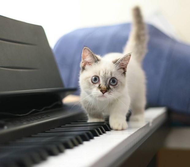 Cute lạc lối: Khi mèo Mỹ chân ngắn học cách vẫy tay như mèo Thần Tài  - Ảnh 9.