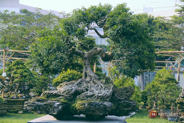 Cận cảnh cặp sanh cổ thụ được đại gia trả 4 tỷ đồng không bán ở Sài Gòn - Ảnh 11.