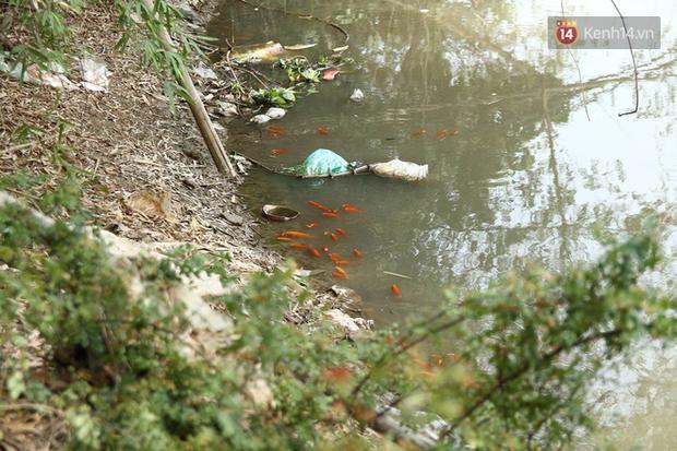 Clip, ảnh: Cá chép tiễn Táo quân vừa bơi tới cầu Diễn đã bị chích điện lôi lên bờ - Ảnh 4.