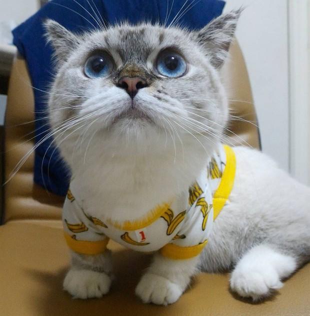 Cute lạc lối: Khi mèo Mỹ chân ngắn học cách vẫy tay như mèo Thần Tài  - Ảnh 7.