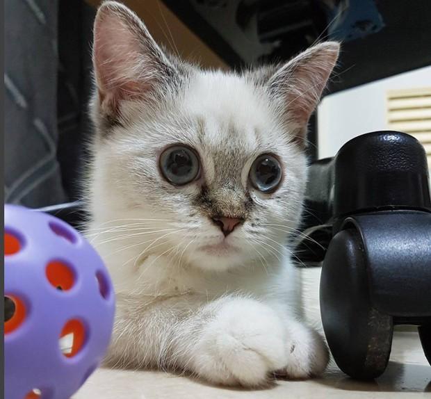 Cute lạc lối: Khi mèo Mỹ chân ngắn học cách vẫy tay như mèo Thần Tài  - Ảnh 8.