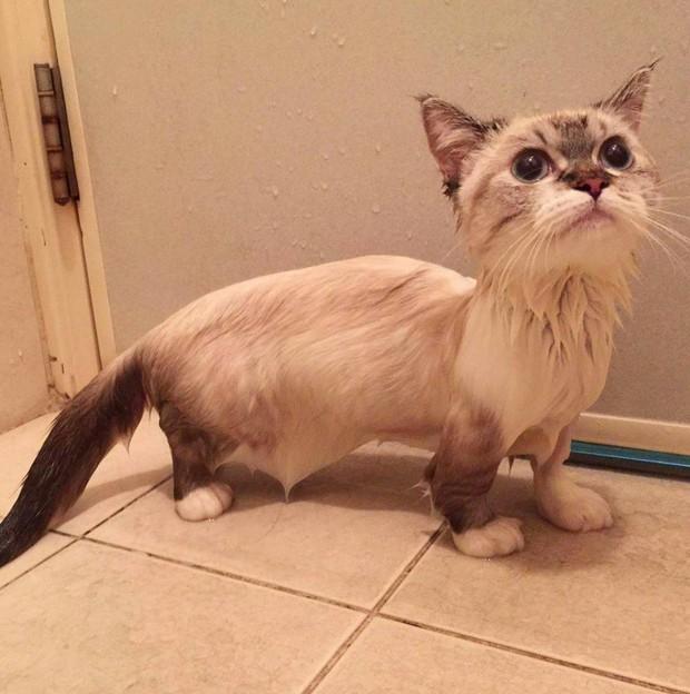 Cute lạc lối: Khi mèo Mỹ chân ngắn học cách vẫy tay như mèo Thần Tài  - Ảnh 6.