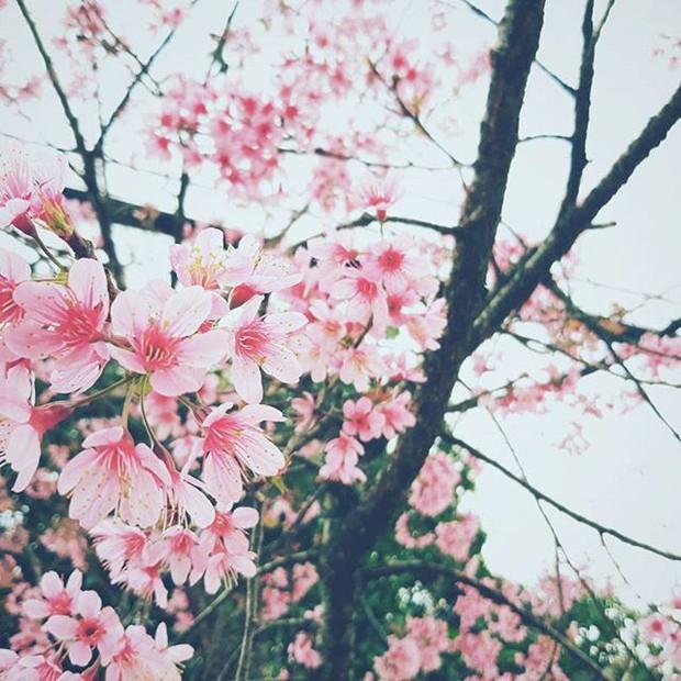 Lại phải đi Đà Lạt thôi vì hoa mai anh đào đã nhuộm hồng thành phố rồi! - Ảnh 14.