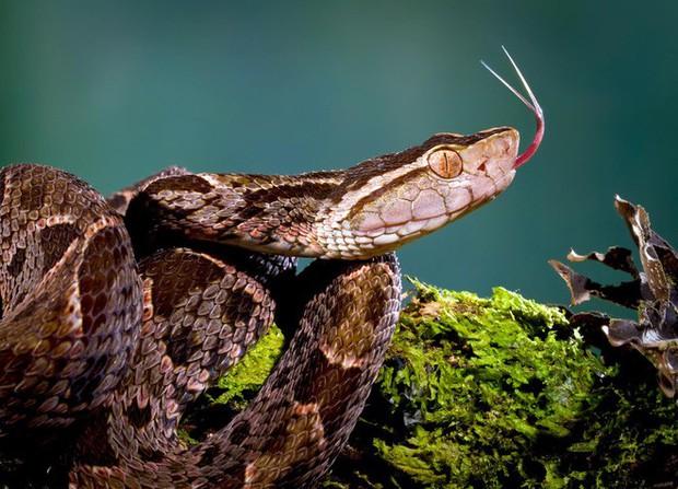 Mò vào ổ nhện kiếm ăn, loài rắn nguy hiểm nhất Costa Rica bị giết không thương tiếc - Ảnh 2.