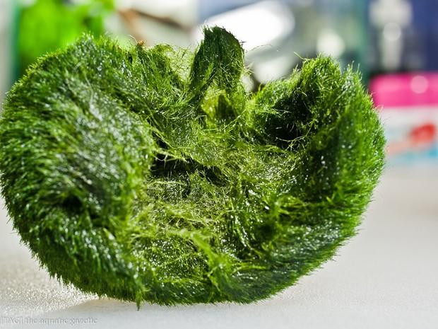Ngoài sushi và hoa anh đào, thứ màu xanh này cũng được xếp vào hàng báu vật của Nhật Bản - Ảnh 2.