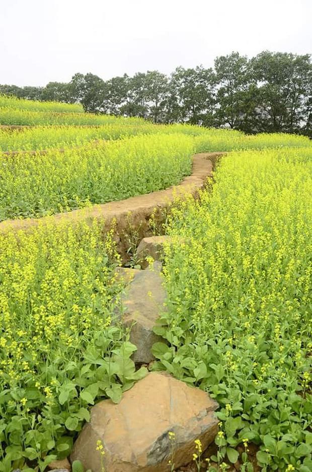 Cư dân mạng bỗng dưng phát hiện ra vườn hoa cải trắng và ruộng bậc thang chỉ cách Hà Nội có 20km - Ảnh 10.