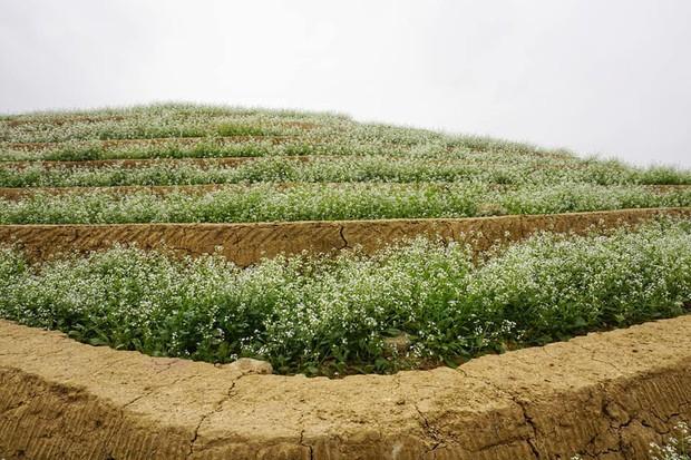 Cư dân mạng bỗng dưng phát hiện ra vườn hoa cải trắng và ruộng bậc thang chỉ cách Hà Nội có 20km - Ảnh 7.