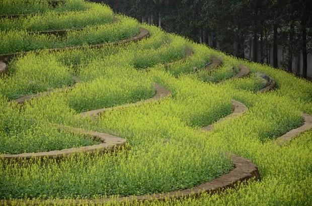 Cư dân mạng bỗng dưng phát hiện ra vườn hoa cải trắng và ruộng bậc thang chỉ cách Hà Nội có 20km - Ảnh 8.