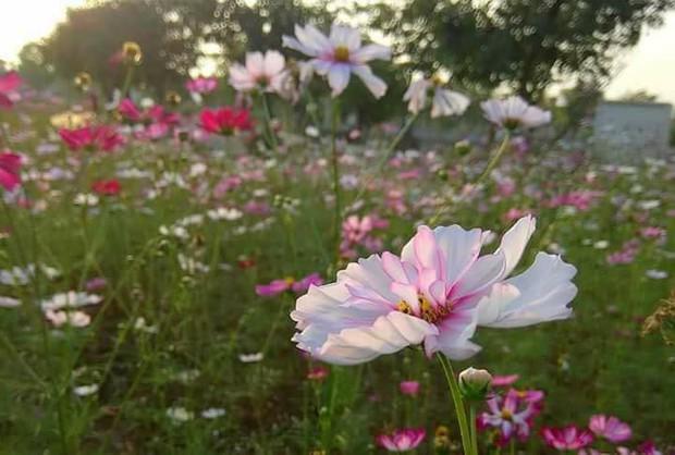 Cư dân mạng bỗng dưng phát hiện ra vườn hoa cải trắng và ruộng bậc thang chỉ cách Hà Nội có 20km - Ảnh 14.