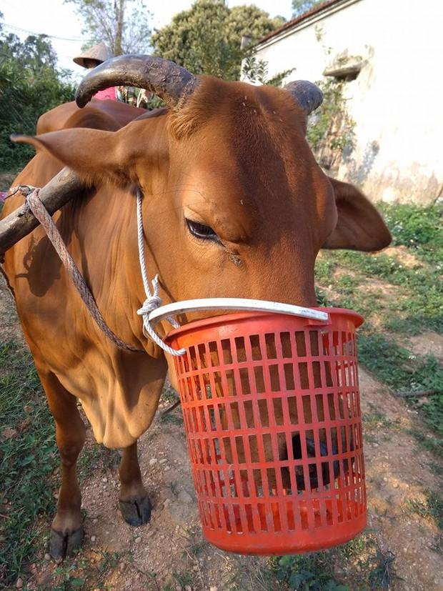 Chó đeo rọ mõm quá quen thuộc rồi, bò bị rọ mõm vì tham ăn mới là hiếm thấy - Ảnh 1.