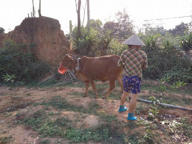 Chó đeo rọ mõm quá quen thuộc rồi, bò bị rọ mõm vì tham ăn mới là hiếm thấy - Ảnh 2.