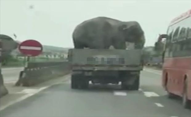 Hà Tĩnh: Tự dưng có chú voi khổng lồ được xe tải chở đi dạo trên quốc lộ - Ảnh 2.