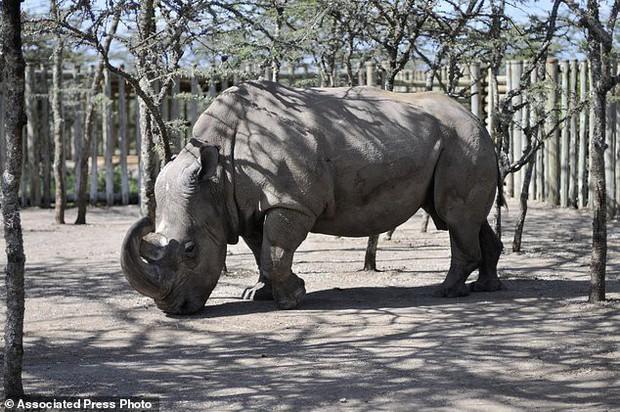 Cái chết của Sudan - chú tê giác trắng cuối cùng và lời cảnh báo đến toàn nhân loại - Ảnh 3.