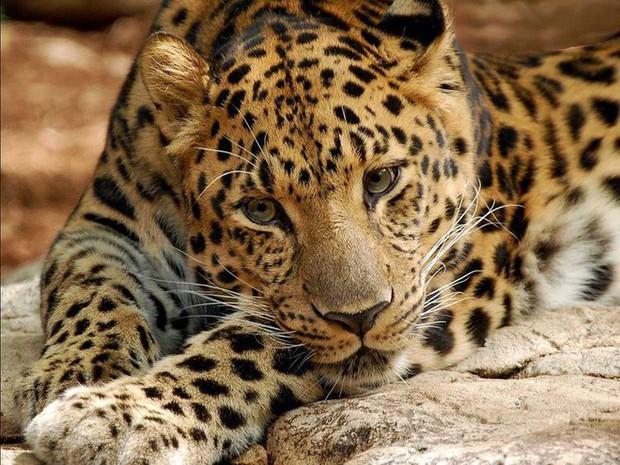 12 loài vật hoang dã đang đối diện nguy cơ tuyệt chủng, biến mất hoàn toàn khỏi Trái Đất - Ảnh 1.