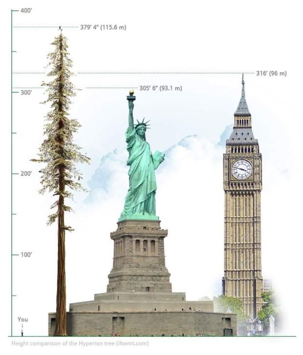 Đây là cái cây cao nhất thế giới, và là niềm tự hào của cả nước Mỹ - Ảnh 1.