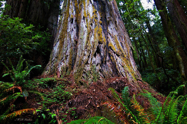 Đây là cái cây cao nhất thế giới, và là niềm tự hào của cả nước Mỹ - Ảnh 2.