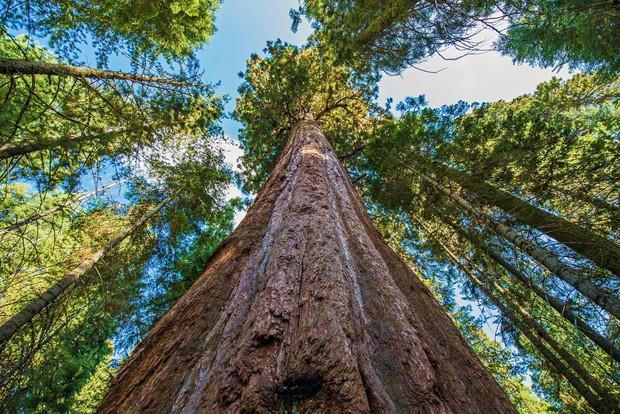 Đây là cái cây cao nhất thế giới, và là niềm tự hào của cả nước Mỹ - Ảnh 3.
