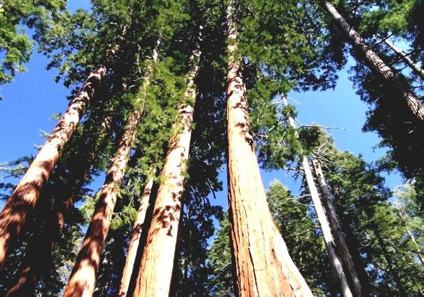 Đây là cái cây cao nhất thế giới, và là niềm tự hào của cả nước Mỹ - Ảnh 4.