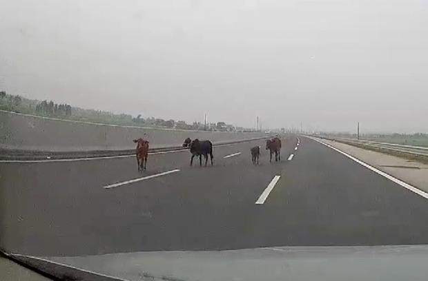 Clip: Nguyên một gia đình nhà bò bỗng dưng xuất hiện trong làn 100km/h trên cao tốc Hà Nội - Hải Phòng - Ảnh 2.
