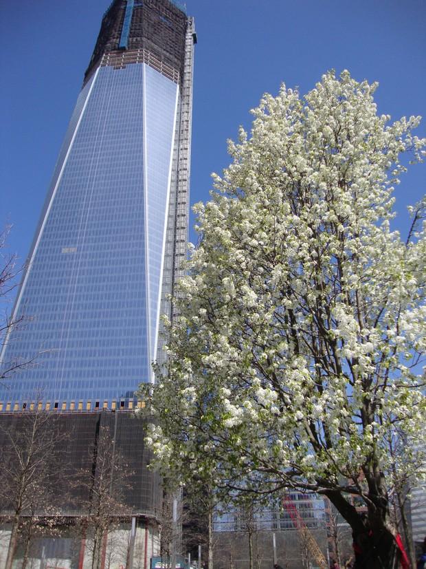 Cây lê báu vật của nước Mỹ: câu chuyện cổ tích thời hiện đại sau thảm họa 11/9 - Ảnh 5.
