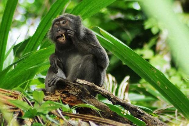 Đây là loài khỉ chuyên đi nhặt lông chim để xỉa răng - Ảnh 1.