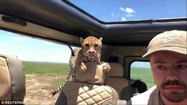 Đang đi chơi trong Safari, thanh niên bất ngờ đến thẫn thờ khi được 3 chú báo hoa nhảy lên xe xin đi nhờ một tí - Ảnh 2.