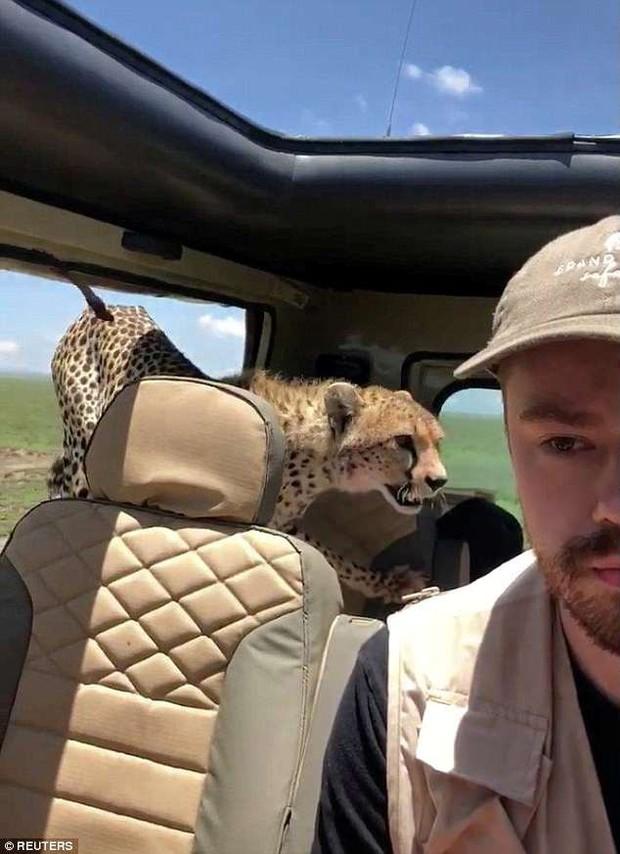 Đang đi chơi trong Safari, thanh niên bất ngờ đến thẫn thờ khi được 3 chú báo hoa nhảy lên xe xin đi nhờ một tí - Ảnh 3.