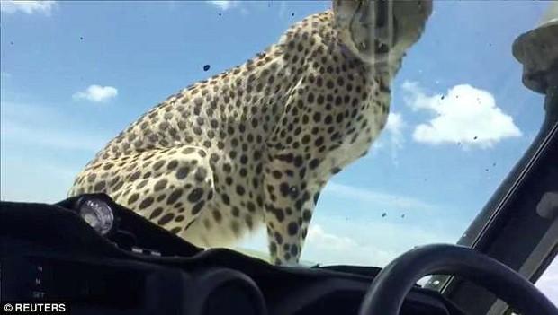 Đang đi chơi trong Safari, thanh niên bất ngờ đến thẫn thờ khi được 3 chú báo hoa nhảy lên xe xin đi nhờ một tí - Ảnh 4.