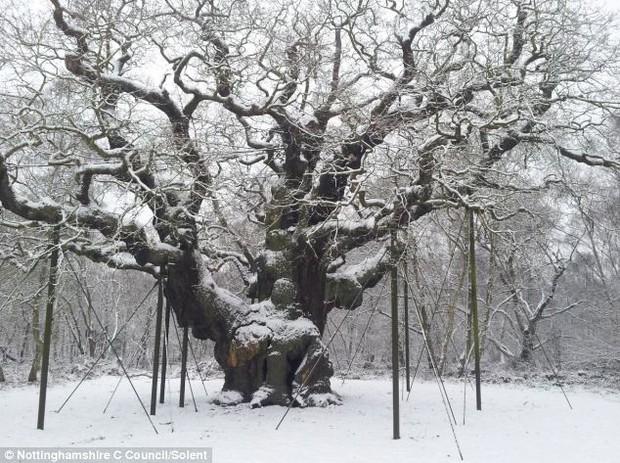 """Huyền thoại Robin Hood từng trốn trong cây sồi này, nhưng đó chỉ là một trong những bí mật về """"báu vật cổ thụ"""" nước Anh - Ảnh 4."""