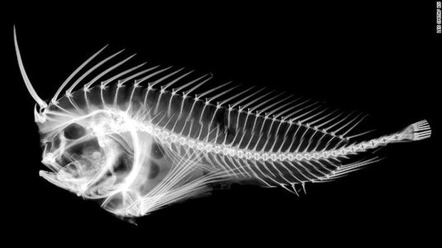 Loài cá độc giấu thanh kiếm trong đầu - Ảnh 2.