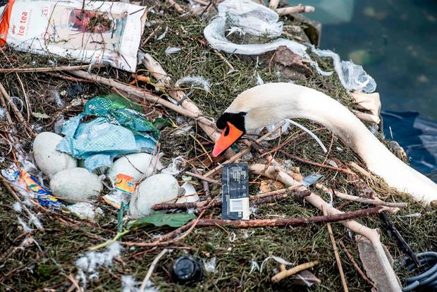 Hình ảnh gây sốc: Thiên nga đẻ trứng trong chiếc ổ làm bằng rác ở Copenhagen, Đan Mạch - Ảnh 3.