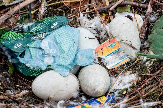 Hình ảnh gây sốc: Thiên nga đẻ trứng trong chiếc ổ làm bằng rác ở Copenhagen, Đan Mạch - Ảnh 5.