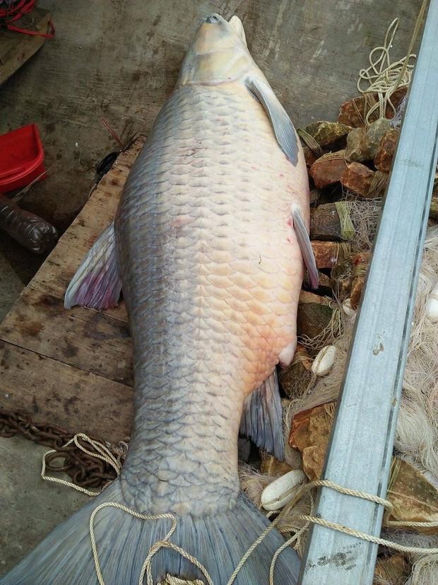 Yên Bái: Ngư dân bắt được cá trắm khổng lồ nặng 61kg ở hồ Thác Bà - Ảnh 3.