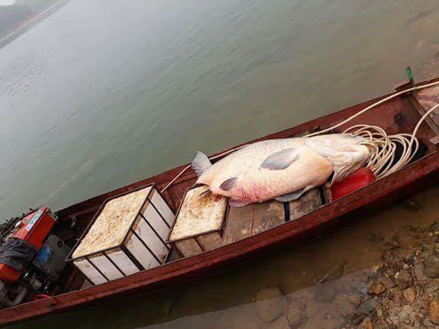 Yên Bái: Ngư dân bắt được cá trắm khổng lồ nặng 61kg ở hồ Thác Bà - Ảnh 1.