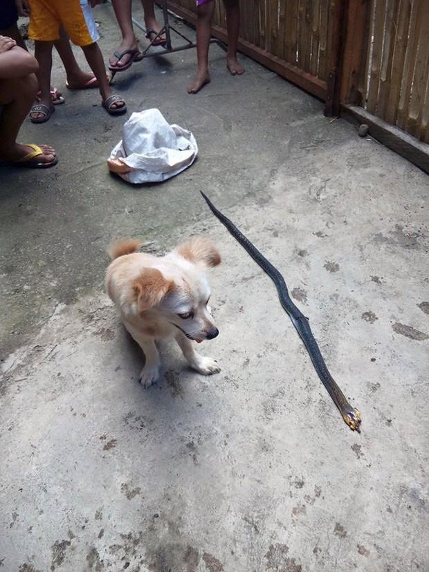 Cô chó dũng cảm cắn chết rắn hổ mang để cứu chủ, nở nụ cười trước khi hi sinh khiến ai cũng phải xúc động - Ảnh 1.