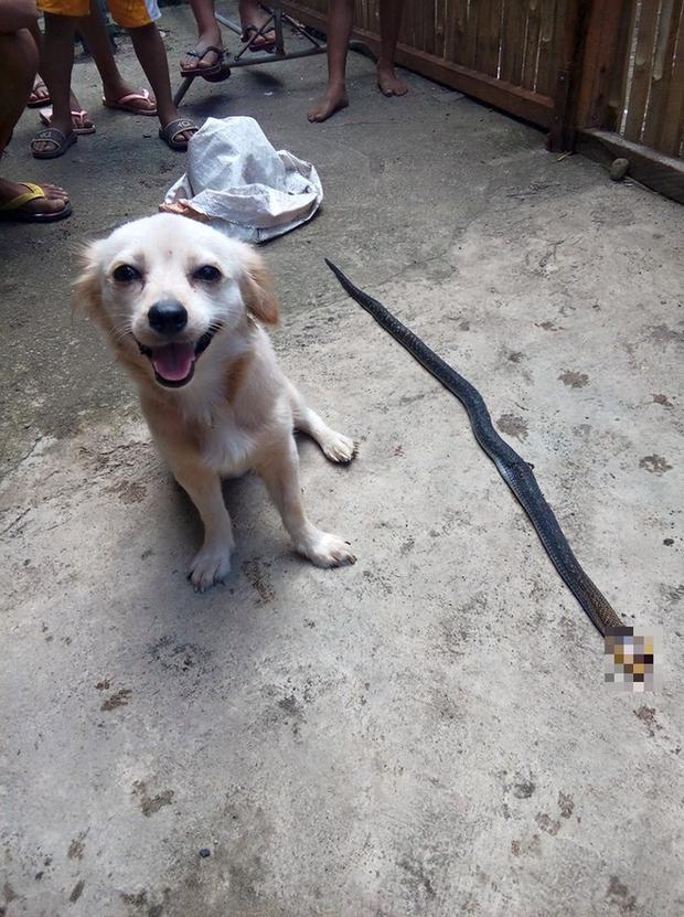Cô chó dũng cảm cắn chết rắn hổ mang để cứu chủ, nở nụ cười trước khi hi sinh khiến ai cũng phải xúc động - Ảnh 3.