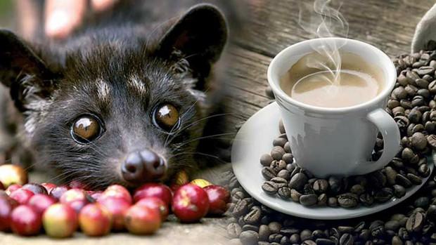 Cafe chồn ngon và đắt nhất thế giới nhưng nghe xong câu chuyện tàn nhẫn này, bạn có còn muốn uống nữa không? - Ảnh 4.
