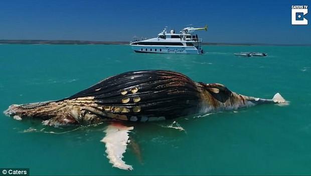 Cảnh tượng khiến nhiều người rùng mình: Cá voi chết phơi xác trên biển, cá mập và cá sấu vây quanh rỉa xác - Ảnh 2.