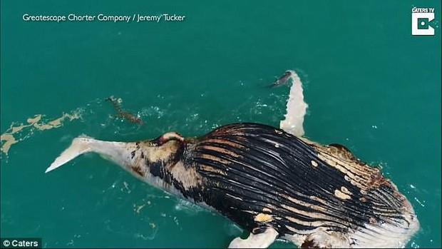 Cảnh tượng khiến nhiều người rùng mình: Cá voi chết phơi xác trên biển, cá mập và cá sấu vây quanh rỉa xác - Ảnh 4.