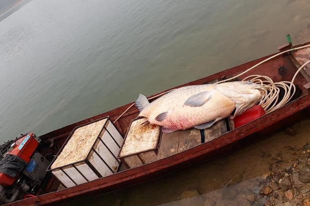 """Cá trắm đen 61kg ở hồ Thác Bà không phải con cá """"khủng"""" duy nhất - Ảnh 1."""