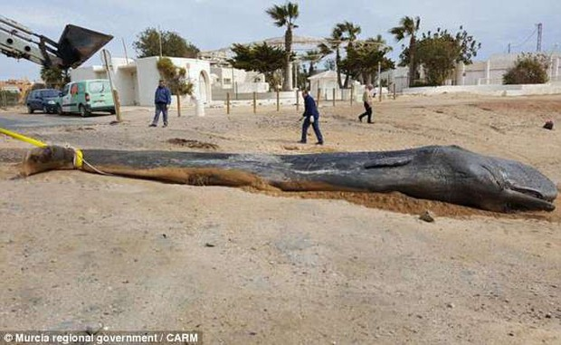 Cá nhà táng chết dạt vào bờ biển, các nhà môi trường lo ngại khi phát hiện 29 kg rác thải trong bụng con vật xấu số - Ảnh 1.