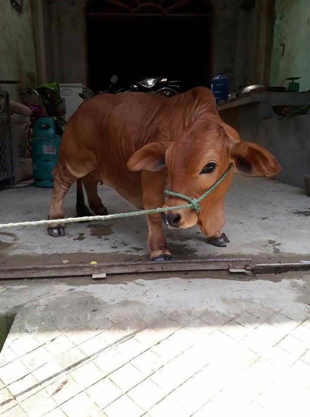 Chú bò chỉ to bằng con chó khiến cư dân mạng đòi bắt cóc mang về nuôi vì xinh quá - Ảnh 1.