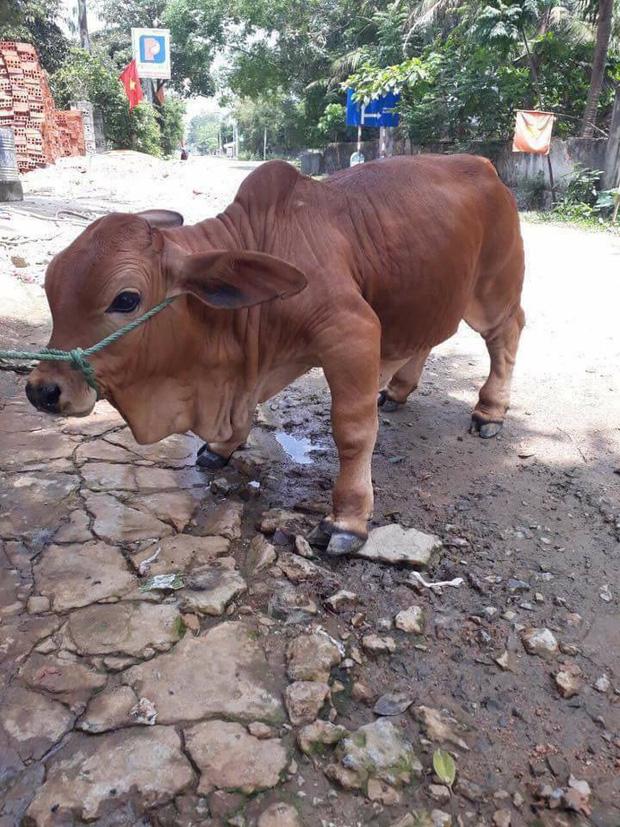Chú bò chỉ to bằng con chó khiến cư dân mạng đòi bắt cóc mang về nuôi vì xinh quá - Ảnh 2.