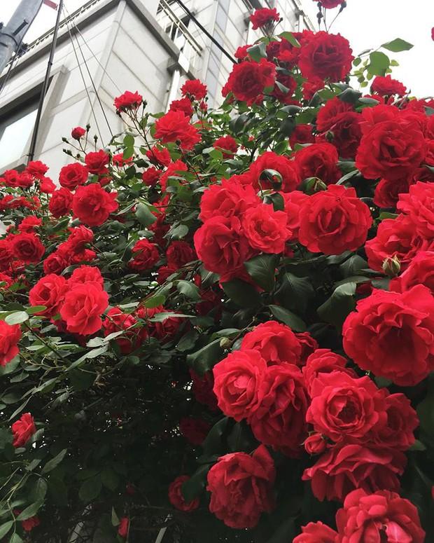 Căn nhà với cánh cổng hoa hồng đang được cư dân mạng chia sẻ mạnh vì lãng mạn không chịu nổi - Ảnh 3.