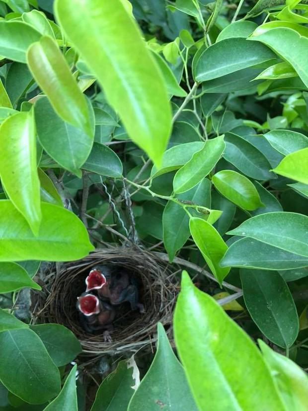 Thấy trong sân nhà có tổ chim, người phụ nữ kiên nhẫn chụp ảnh từ lúc là quả trứng cho tới khi thành bầy chim non xinh xinh - Ảnh 3.