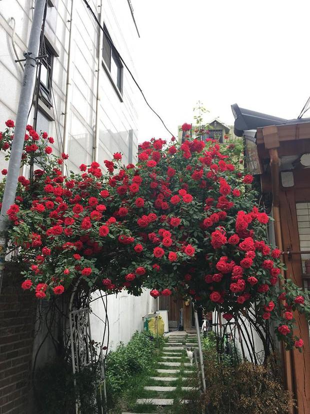 Căn nhà với cánh cổng hoa hồng đang được cư dân mạng chia sẻ mạnh vì lãng mạn không chịu nổi - Ảnh 5.