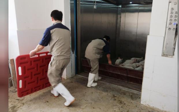 Người Trung Quốc xây hẳn khách sạn 7 tầng để... nuôi lợn - Ảnh 3.